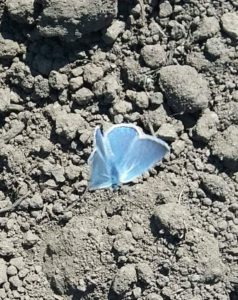 Sinisiipi perhonen kasvimaalla.