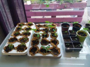 Pinaatin ja kurkun taimia kasvamassa ikkunan edessä.